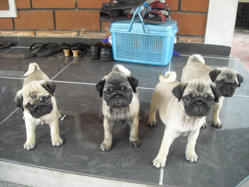 Harga anjing Pug murni 2017. Harga jual-beli anakan Pug di Indonesia
