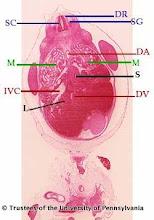 Photo: Nervous System (blue labels): DR - Dorsal Root SC - Spinal Cord SG - Spinal Ganglia  Circulatory System (red labels): DA - Descending Aorta DV - Ductus Venosus IVC - Inferior Vena Cava  Digestive System (black labels): L - Liver S - Stomach  Urogenital System (green labels): M - Mesonephros