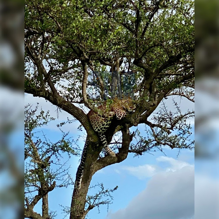 A leopard takes an afternoon nap perched on a tree inside the Mara