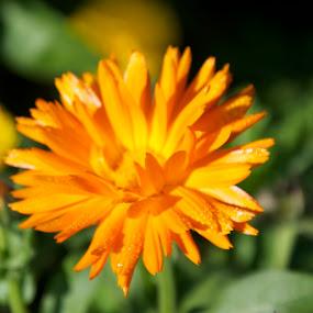 nature's beauty by Harshit Bansal - Nature Up Close Flowers - 2011-2013 ( orange, macro, nature, blurr, flower )