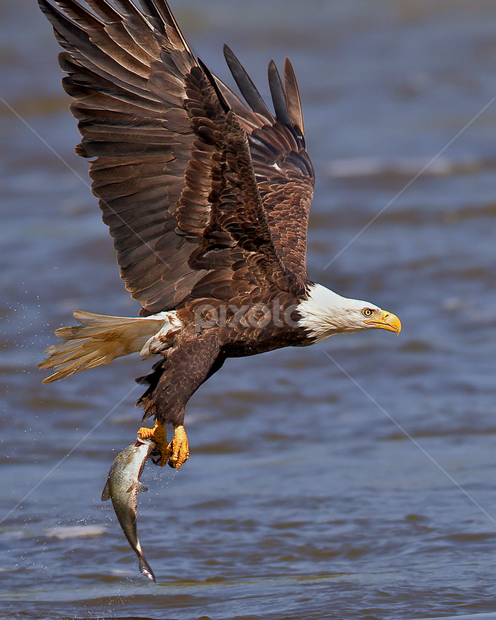 by Herb Houghton - Animals Birds ( eagle, bird of prey, fish, bald eagle, raptor, herbhoughton.com, fishing )