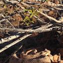 Sidewinder Rattesnake