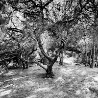 Contorsioni arboree di
