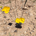 Desert Gold Poppy