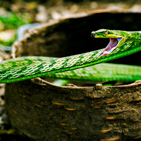 Lunge of a Green Vine... by Avishek Patra - Animals Reptiles ( green snake, snake, poisonous, green vine snake, reptile, vine snake, Backyard, insects, reptiles, living creatures, green, colors, daily life,  )