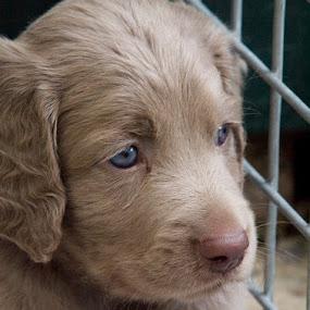 by BertJan Niezing - Animals - Dogs Puppies