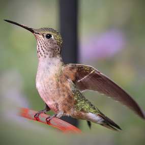 Tiny Dancer by April Nowling - Animals Birds ( bird, nature, hummingbird, wildlife, santa fe,  )