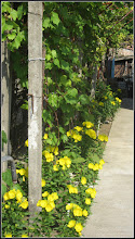 Photo: Luminiță (Oenothera biennis) - de pe Str. Trandafirilor - 2017.06.05