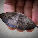 Mariposa folha - Moth leaf