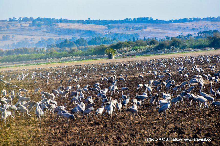Журавли на зимовке в заповеднике птиц Хула в Израиле.