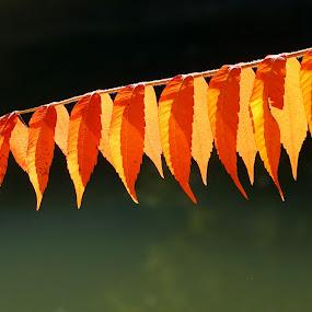 Branch1 by Sámuel Zalányi - Nature Up Close Leaves & Grasses ( autumn, colors, branch, banat, timisoara, leaves,  )