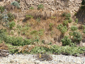 Photo: nother section of the bluff showing Vetiver with young salt tolerant shrubs growing in between the Vetiver rows . The Vetiver was burned by salt spray, but was not killed.