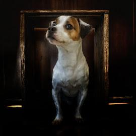 A Belt in a Box by Matthew Miller - Animals - Dogs Portraits ( jack russell, pet, dog portrait, terrier )