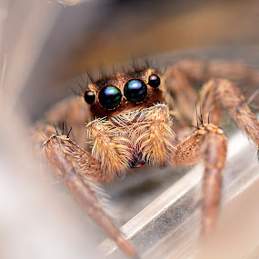 jumping spider by Pinang Mawong - Animals Insects & Spiders