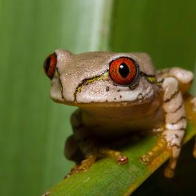 Natal Tree Frog by Simon Joubert - Animals Reptiles ( red, tree, frog, amphibian, natal, simon joubert, eyes )