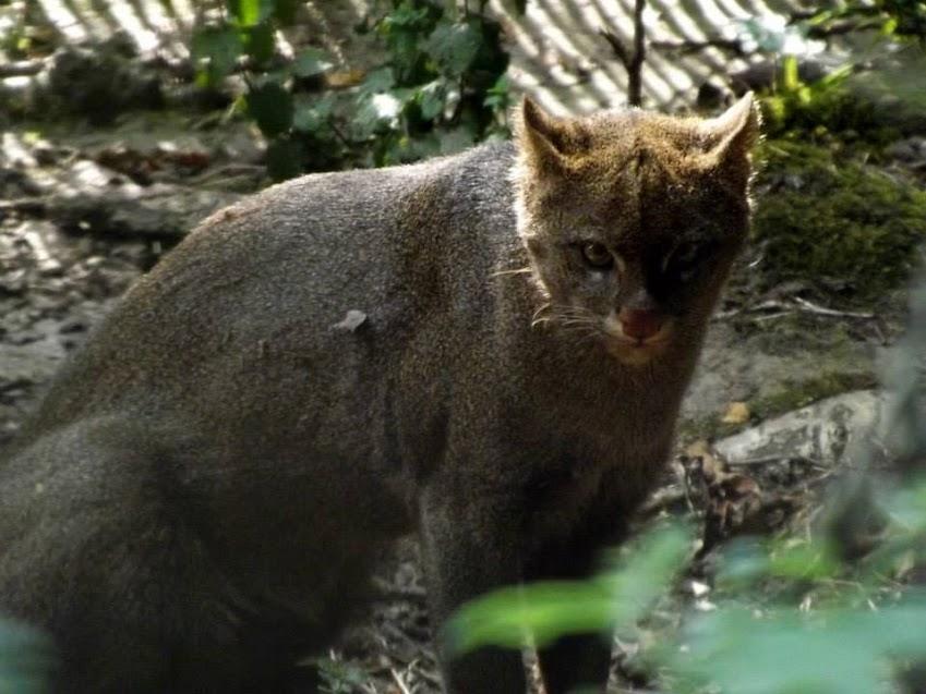 Jaguarondi, Spaycific'zoo - Tous droits réservés