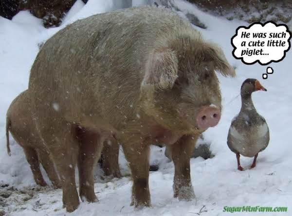Amish Smoked Ham Brine