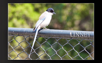 Photo: オナガ  ( Azure-winged Magpie )