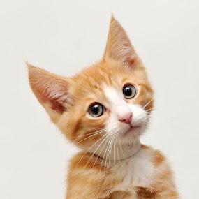 Adopt me? by Josh Norem - Animals - Cats Portraits ( cats, kitten, cat, kittens, kitties, felines, kitty )