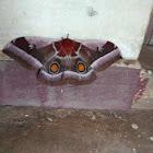 Cabbage tree emperor moth
