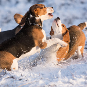 Winter is coming. by Sigurður Brynjarsson - Animals - Dogs Playing ( iceland, snow, play, beagle, dog )
