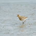 Pacific golden plover 太平洋金斑鴴
