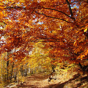 The most beautiful color of autumn.. by Ionela Garovat - Nature Up Close Trees & Bushes ( nature, autumn, trees, forest,  )