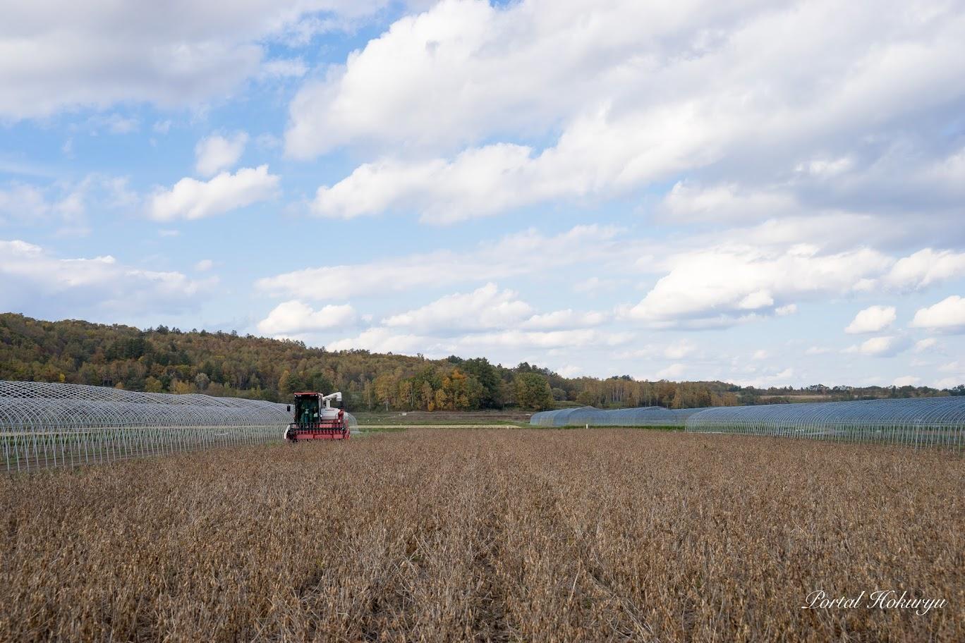 紅葉をバックに大豆の収穫(撮影:2017年10月14日)