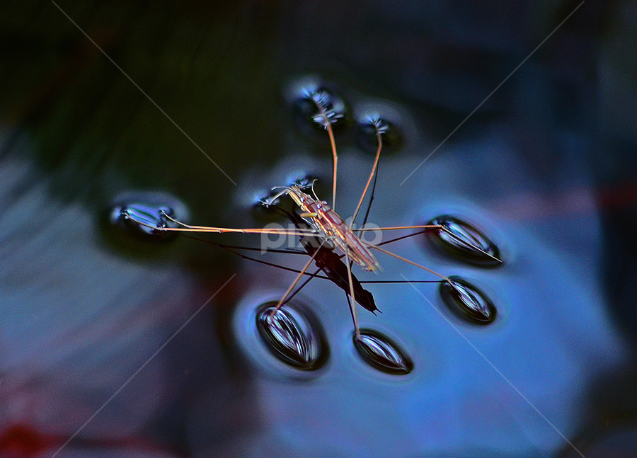 Mating ! by Lazuardi Normansah - Animals Insects & Spiders