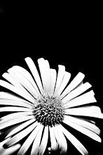 Photo: Doronicum - prints and cards here - http://www.inspiraimage.com/index.php/gallery/flowers/247-doronicum-in-black-and-white