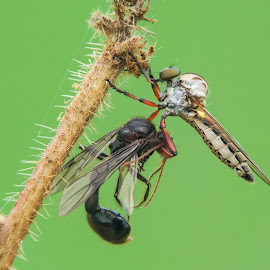Damalis sp with prey by Okqy Setiawan - Instagram & Mobile Android ( macro, bugs, flies, close up, insects,  )