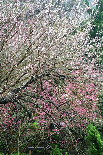 [遊記]台北2008陽明山花季搶先報