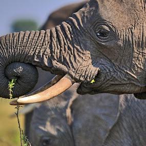 elefante by Vito Masotino - Animals Other Mammals ( kenya, wildlife, travel, africa,  )