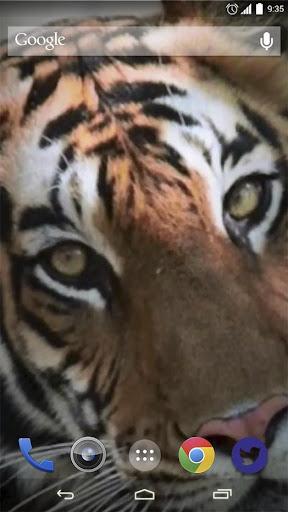 Wild Tigers Live Wallpaper