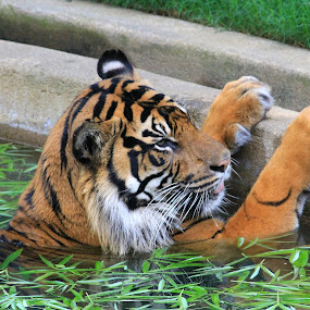 Tiger In The Water by Ken Keener - Animals Lions, Tigers & Big Cats ( big cat, tiger, in the water, orange and black,  )