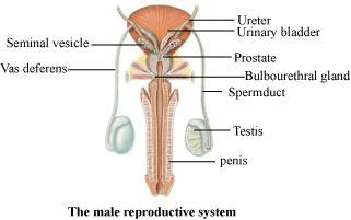 the male reproductive system diagram labeled – lickclick, Muscles