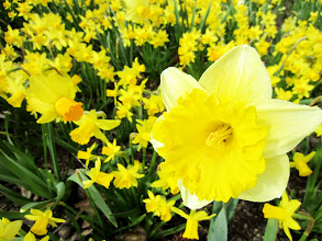 Photo: Mini daffodils and a large daffodil at Cox Arboretum in Dayton, Ohio.