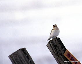 Photo: Handsome little Snow Bunting