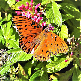 Gulf Fritillary butterfly by Mary Gallo - Animals Insects & Spiders ( nature, butterfly, nature up close, gulf fritillary, garden butterfly, nature photography )