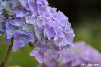 Photo: 個々の花たちは一見きれいに咲いているように見えるのだが、(2014,05,25)