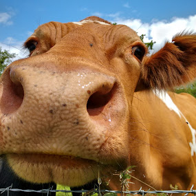Can you hear that moosic? by Nigel Wheeler - Animals Other Mammals ( farm, countryside, england, nature up close, cow,  )