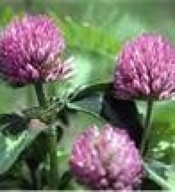 Plant Yourself Some Red Clover Recipe