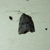 White-lined Graylet Moth