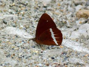 Photo: WHITE-LINED LYMAN- lymanopoda albocincta--TRACK TO SAN ISIDRO, NAPO