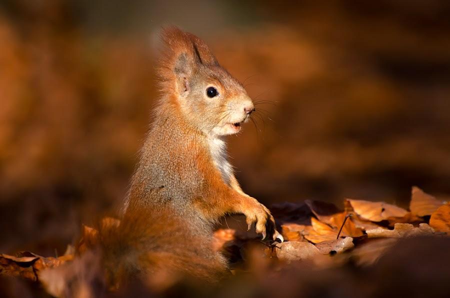 Vykulená by Vítězslav Částek - Animals Other ( squirrel,  )