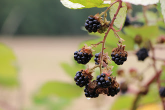Photo: Blackberries! They were a bit strange--very large, black, juicy, just the right amount of soft . . . but not very sweet, many of them. I think it was the very wet spring, and then the wet week when they needed hot and dry, to condense the sweetness