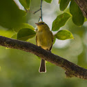Bico-chato-amarelo(Yellow-breasted Flycatcher)