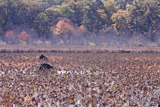 Photo: Muskrat lodges in the lotus field. Foliage