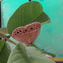 Bushbrown Butterfly