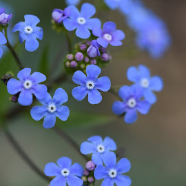beautiful blue gardens flower by LADOCKi Elvira - Flowers Flower Gardens ( garden plants flower floral nature tree blossom )